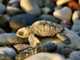 عکس بچه لاکپشت در ساحل