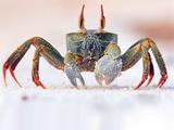 خرچنگ ساحلی