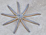 عکس ستاره دریایی نه پا