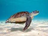 عکس لاکپشت زیر دریا