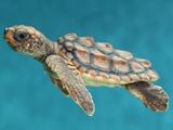 عکس بچه لاکپشت در حال شنا