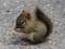 بچه سنجاب کوچولو