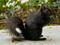 سنجاب سیاه