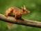 سنجاب حنایی روی شاخه درخت