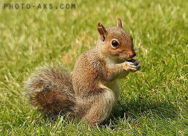 عکس سنجاب