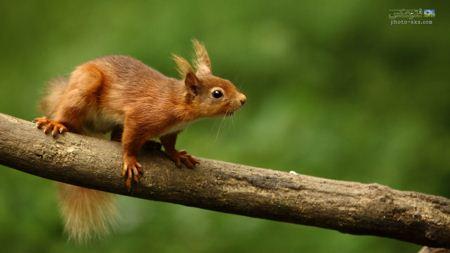 سنجاب حنایی روی شاخه درخت cute squirrel on bench