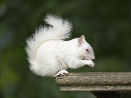 عکس سنجاب سفید white squirrel