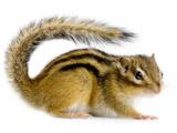 عکس موش خرمای زمینی یا سمورچه