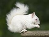 عکس سنجاب سفید