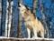زوزه گرگ