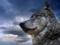 عکس های زیبای گرگ ها