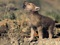 والپیپر بچه گرگ خاکستری