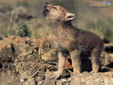 والپیپر بچه گرگ خاکستری baby of wolf