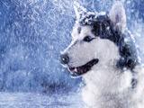 عکس گرگ در کولاک زمستان