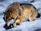عکس گرگ در برف زمستانی