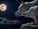 عکس گرگها شب مهتابی