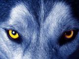 عکس نگاه ترسناگ گرگ وحشی