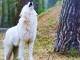 زوزه گرگ سفید در جنگل