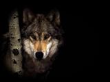 پس زمینه سیاه گرگ
