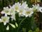 گل لیلیوم سفید