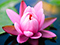 گل لیلیوم صورتی روی آب