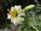 گل سوسن چلچراغ