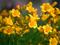 عکس گلهای لیلیوم