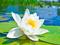 گل لیلیوم سفید روی آب