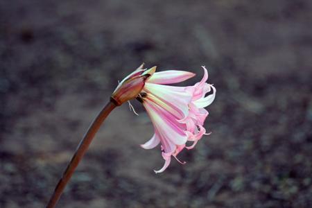شاخه گل لیلیوم صورتی lily flower pink