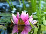 تصویر گل زیبای روی آب