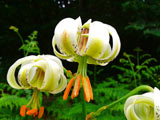 عکس گل سوسن چلچراغ