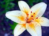 گلبرگ گل لیلیوم سفید