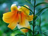 گل لیلیوم زرد زیبا