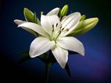زیباترین عکس های گل لیلیوم