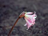 شاخه گل لیلیوم صورتی
