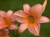 زیباترین عکس های گل سوسن صورتی