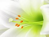 والپیپر گل لیلیوم سفید