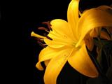 گل لیلیوم زرد بسیار زیبا