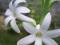 تصاویر کمیاب گل مریم