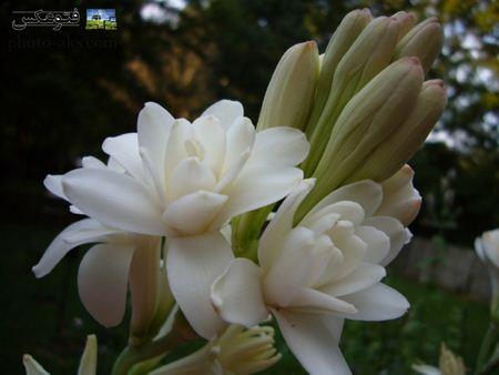 والپیپر گل مریم mary flower wallpaer