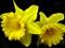 والپیپر گل نرگس بزرگ