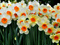 والپیپر زیبا از گلهای نرگس