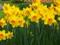 باغچه گل های نرجس