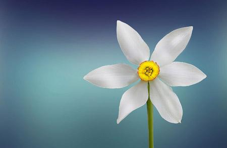 شاخه گل نرگس زیبای سفید gole narges sefid