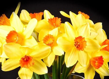 شاخه گلهای نرگس زیبا narcissus flowers