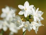 عکس گل نرگس سفید زیبا