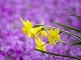 عکس گل نرگس زرد زیبا