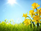 عکس بهاری گل نرگس زرد