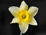عکس زیبا گلبرگ گل نرگس
