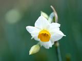 عکس تک شاخه گل نرگس سفید